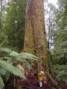Mountain Ash, eucalyptus regnans, a.k.a. Swamp Gum, Tassie Oak